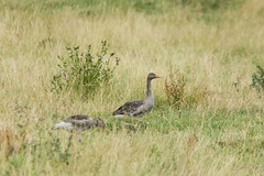 Photo of Geese in the Grass