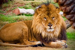 Lion at the Phoenix Zoo 12/31/19 (citywideangle) Tags: lion wildlife zoo phoenixzoo cats bigcats lionking art lions love africa animals nature tattoo safari lioness photography king liontattoo wildlifephotography animal l tiger bigcat wild cat southafrica instagram ink artist leo bhfyp