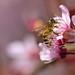 Honey bee on plum tree flowers