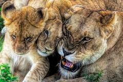 squished faces v2 (PhilHydePhotos) Tags: africa feline lioncub mammals mvuli safari seasonofsmallrains serengeti tanzania wildlife cats lion predator