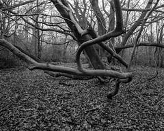 Ancient Beech, Walker Titan Sf with Nikkor 90mm Lens, 4 sec @ F32,  Hp5+ in Ultrafin (Jonathan Carr) Tags: tree trees ancient woodland largeformat blackandwhite 4x5 rural northeast monochrome hp5 landscape walkertitansf