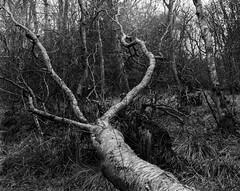 Fallen Tree, Hyons Wood, Walker Titan SF with Rodenstock 150mm Lens, 1 Sec @ f32, Hp5+ in Ultrafin (Jonathan Carr) Tags: trees blackandwhite tree monochrome rural woodland landscape ancient 4x5 hp5 northeast largeformat walkertitansf