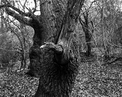 Tree, Hyons Wood, Walker Titan SF with Rodenstock 150mm Lens, 1 Sec @ f22, Hp5+ in Ultrafin (Jonathan Carr) Tags: tree trees ancient woodland largeformat blackandwhite 4x5 rural northeast monochrome hp5 landscape walkertitansf