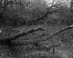 Fallen Tree and Echo, Hyons Wood, Walker Titan SF with Rodenstock 150mm Lens, 1 Sec @ f32, Hp5+ in Ultrafin (Jonathan Carr) Tags: tree trees ancient woodland largeformat blackandwhite 4x5 rural northeast monochrome hp5 landscape walkertitansf