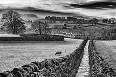 """Grassington Snake Path (Andrew Brammall Photography) Tags: pathlandscapedrystone wallsheepfarmtreesblackwhitemono wallsheepfarmtreesblackwhitemonochromeyorkshiredalesmistysky trees sky tree field fog stone wall sheep winding straight horizon monochrome misty mono village farm grazing grassington """"blackandwhite"""" landscape path yorkshire dales drystone county winter clouds britain country north hills house beautiful beauty contrast cottage"""