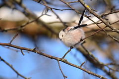 Шарик (Yuriy Kuzmenok) Tags: птицы птица природа синица ополовник