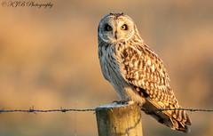 S.E.O-(Frosted Post) (KJB Photography.) Tags: short eared owl seo shortie fenland wetland farmland fens nature wildlife photography post vole winter