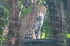 Watchful Jaguar (chiaraogan) Tags: belizezoo belize jaguar bigcat spots
