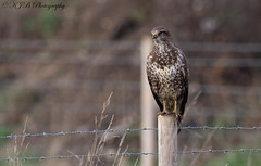 Buzzard (Perched) (KJB Photography.) Tags: buzzard roadside perched posted cambridgeshire wildlife photography nature