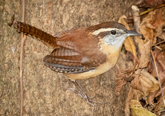 Carolina Wren (tresed47) Tags: 2019 201910oct 20191029homemisc birds canon7dmkii carolinawren chestercounty content fall folder october pennsylvania peterscamera petersphotos places season takenby us wren
