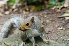 Photo of Woodland Squirrel