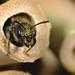 Chelostoma florisomne