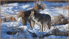 Coyotes. (a mated pair).