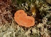 Parian bractea Nudibranch.
