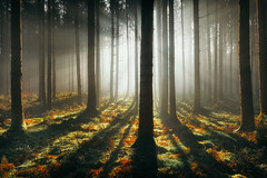 Made in 2020 (der_peste (on/off)) Tags: forest raysoflight raysofgod rays sunrays sunrise woods forrest timberland timber soil duff moss trees forestscape