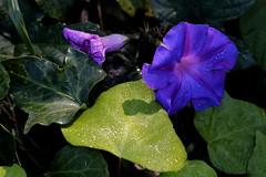 Naturaleza pura (Ce Rey) Tags: naturaleza nature flowers morningglory campanilla gotas gotitias drops wet hojas mojado