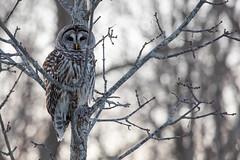 Barred Owl (NicoleW0000) Tags: barredowl owl raptor birdofprey bird tree winter ontario canon bokeh