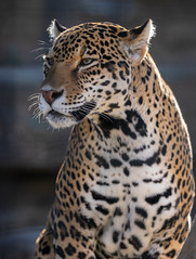Jaguar (Howard Sumner) Tags: animal arizona bigcat jaguar litchfieldpark wildlifeworldzoo zoo