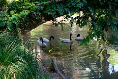 Black-necked swans (halifaxlight) Tags: chile santiago santaritawinery garden pond bridge blackneckedswans swans swimming foliage reflections cygnusmelanocoryphus