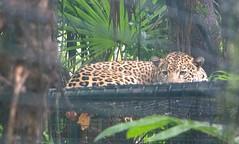 Shy Jaguar (chiaraogan) Tags: belizezoo belize jaguar spots bigcat