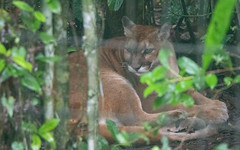 Puma (chiaraogan) Tags: belizezoo belize puma bigcat mountainlion