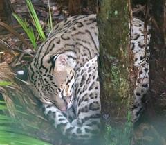 Sleeping Ocelot (chiaraogan) Tags: belizezoo belize ocelot bigcat cat