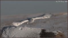 SnowyOwl_90D_7065  +3,600 Views Thank You! (CrzyCnuk) Tags: snowyowl alberta canon canon90d wildlife owl birdsofprey snowy tamron150600g2 600mm bif