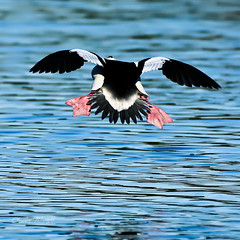 Coolest looking Super Hero ever...  or a Bufflehead coming into land?  Lincoln, CA. (charleywraightphotography) Tags: bird water duck animal beak waterfowl lake wildlife flying feather wing swimming fly vertebrate outdoor nature waterbird blackbird avian black puffin wild body stork vulture california north bufflehead lincoln super hero