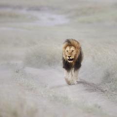 The King takes a walk (ms2thdr) Tags: africa safari serengeti serengetiplains tanzania lion malelion bigcat safarianimal wild wildanimal