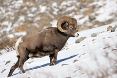 Rocky Mountain Ram (markvcr) Tags: bighorn sheep ram rocky mountains rockies