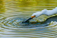Riparian Ripples (Arizphotodude) Tags: egret snowyegret arizona fishing birds wildlife nature nikon d500 water naturepreserve