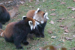 IMG_0489 (neatnessdotcom) Tags: prospect park zoo brooklyn animal wcs new york city tamron 18270mm f3563 di ii vc pzd canon eos rebel sl3 digital slr camera 250d red panda ailurus fulgens