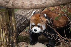 IMG_0410 (neatnessdotcom) Tags: prospect park zoo brooklyn animal wcs new york city tamron 18270mm f3563 di ii vc pzd canon eos rebel sl3 digital slr camera 250d red panda ailurus fulgens