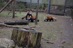 IMG_0450 (neatnessdotcom) Tags: prospect park zoo brooklyn animal wcs new york city tamron 18270mm f3563 di ii vc pzd canon eos rebel sl3 digital slr camera 250d red panda ailurus fulgens