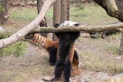 IMG_0505 (neatnessdotcom) Tags: prospect park zoo brooklyn animal wcs new york city tamron 18270mm f3563 di ii vc pzd canon eos rebel sl3 digital slr camera 250d red panda ailurus fulgens