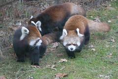 IMG_0484 (neatnessdotcom) Tags: prospect park zoo brooklyn animal wcs new york city tamron 18270mm f3563 di ii vc pzd canon eos rebel sl3 digital slr camera 250d red panda ailurus fulgens