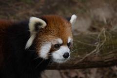 IMG_0368 (neatnessdotcom) Tags: prospect park zoo brooklyn animal wcs new york city tamron 18270mm f3563 di ii vc pzd canon eos rebel sl3 digital slr camera 250d red panda ailurus fulgens