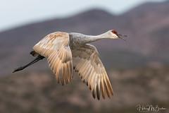 Happy flyer (Hilary Bralove) Tags: bosquedelapache bosque newmexicobirds newmexicowildlife nikon nature cranes sandhillcranes birds wildbirds