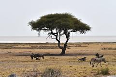 Namibia - Etosha NP (PierBia) Tags: namibia etosha np zebra nikon d810 africa tree