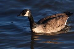Canada Goose - Branta canadensis (Daniel Weeks) Tags: brantacanadensis canadagoose duckhollow