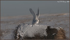 SnowyOwl_90D_7064   +3,800 Views Thank You!! (CrzyCnuk) Tags: snowyowl alberta canon canon90d wildlife owl birdsofprey snowy tamron150600g2 600mm bif