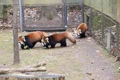 IMG_0496 (neatnessdotcom) Tags: prospect park zoo brooklyn animal wcs new york city tamron 18270mm f3563 di ii vc pzd canon eos rebel sl3 digital slr camera 250d red panda ailurus fulgens