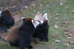 IMG_0490 (neatnessdotcom) Tags: prospect park zoo brooklyn animal wcs new york city tamron 18270mm f3563 di ii vc pzd canon eos rebel sl3 digital slr camera 250d red panda ailurus fulgens