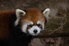 IMG_0365 (neatnessdotcom) Tags: prospect park zoo brooklyn animal wcs new york city tamron 18270mm f3563 di ii vc pzd canon eos rebel sl3 digital slr camera 250d red panda ailurus fulgens
