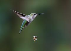 The Race is On!!! (Patricia Ware) Tags: annashummingbird beeinflight birdsinflight california calypteanna canon ef400mmf4doisiiusmlens handheld kennethhahnrecreationalarea losangeles ©2019patriciawareallrightsreserved specanimal