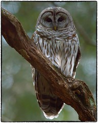 Barred Owl (RKop) Tags: californiawoodspark cincinnati ohio raphaelkopanphotography d500 600mmf4evr 14xtciii owl
