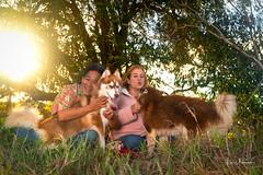Christmas in Waimea 2019 61 (JUNEAU BISCUITS) Tags: sunset sonya7riii sony hawaii hawaiiphotographer portrait portraiture waimea bigisland family familyportrait siberianhusky husky alaskanmalamute