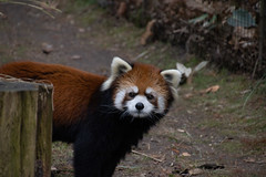 IMG_0523 (neatnessdotcom) Tags: prospect park zoo brooklyn animal wcs new york city tamron 18270mm f3563 di ii vc pzd canon eos rebel sl3 digital slr camera 250d red panda ailurus fulgens
