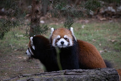 IMG_0441 (neatnessdotcom) Tags: prospect park zoo brooklyn animal wcs new york city tamron 18270mm f3563 di ii vc pzd canon eos rebel sl3 digital slr camera 250d red panda ailurus fulgens