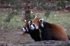 IMG_0435 (neatnessdotcom) Tags: prospect park zoo brooklyn animal wcs new york city tamron 18270mm f3563 di ii vc pzd canon eos rebel sl3 digital slr camera 250d red panda ailurus fulgens